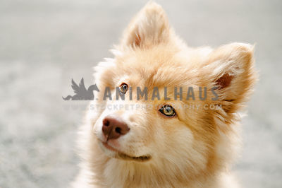 A close up of a young Finnish Lapphund