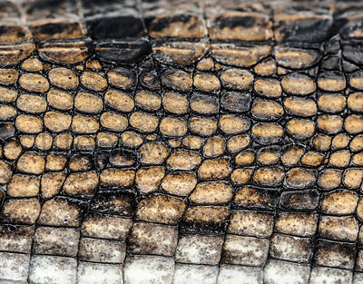 detail of a Fish-eating crocodile scales, Gavial, Gavialis gangeticus, isolated on white