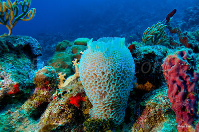 Vase Sponge Saint-Barthélemy diving