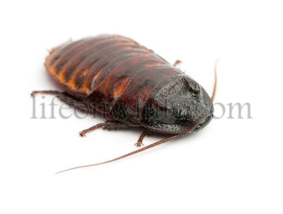 Madagascar Hissing Cockroach, Gromphadorhina portentosa,  also known as the Hissing Cockroach or simply Hisser against white ...