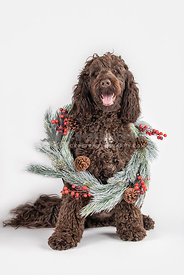large chocolate doodle sitting down wearing Christmas wreath around neck