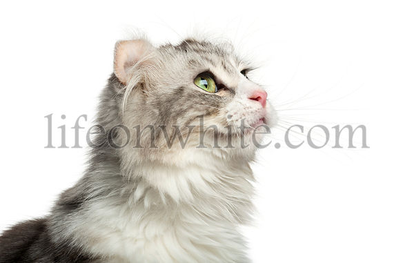 Close-up of an American Curl\'s profile, looking up, isolated on white