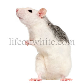Husky rat, 12 months old, in front of white background