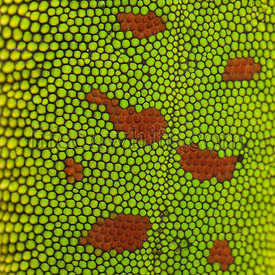Close-up of Madagascar day gecko skin, Phelsuma madagascariensis grandis, 1 year old