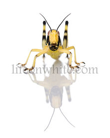 Larva of Desert Locust, Schistocerca gregaria, in front of white background, studio shot