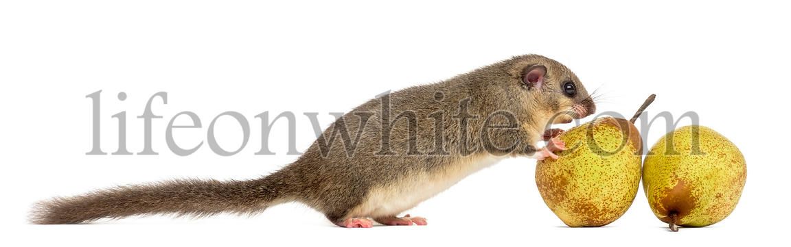 Edible dormouse eating a pear in front of a white background