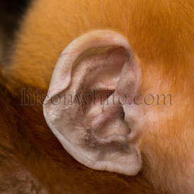 Close-up on the ear of a baby Francois Langur (1 month)