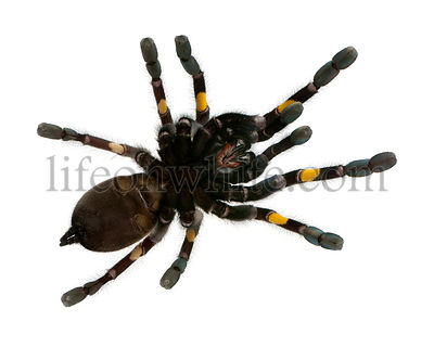 Tarantula spider, Poecilotheria Metallica, in front of white background