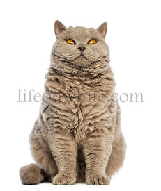 Selkirk Rex sitting and looking at camera against white background