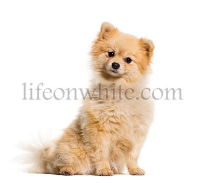 Pomeranian dog sitting against white background