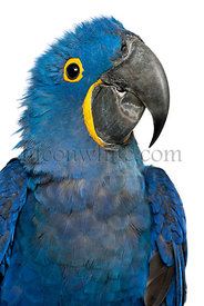 Portrait of Hyacinth Macaw, Anodorhynchus hyacinthinus in front of white background