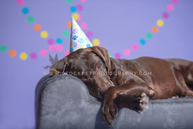 silly close up of chocolate lab wearing birthday hat laying on bed