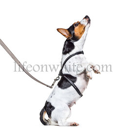 Learning process with a Jack Russell Terrier on a leash, isolated on white