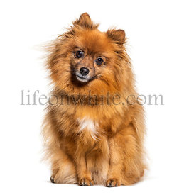 Sitting Keeshond looking at the camera, isolated on white