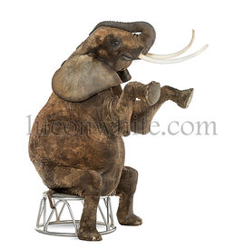 African elephant performing, seated on a stool, isolated on white