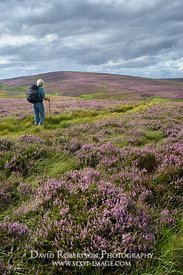 Female walking on Nine Stone Rig through heather in the Lammermuir Hills, East Lothian, Scotland