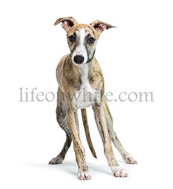 Whippet, English Whippet, Snap dog in front of white background