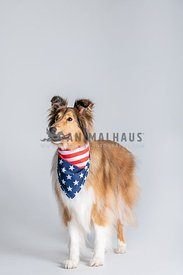 full body standing collie wearing American flag bandana
