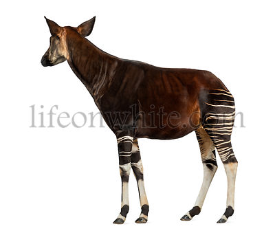 Side view of an Okapi standing, looking away, Okapia johnstoni, isolated on white