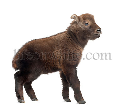 Mishmi Takin, Budorcas taxicolor taxicol, also called Cattle Chamois or Gnu Goat, 15 days old, against white background