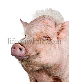 Portrait of Gottingen minipig, studio shot