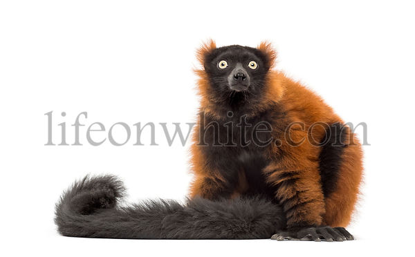 red ruffed lemur sitting and looking up, isolated on white
