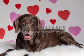 chocolate lab laying in front of backdrop with hearts