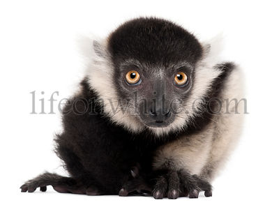 Young Northern black-and-white ruffed lemur, Varecia variegata subcincta, 2 months old, in front of white background