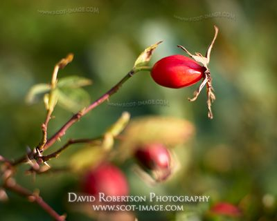 Prints & Stock Image - Rosehip of the wild rose, Rosa canina, Glenlivet, Moray, Scotland.