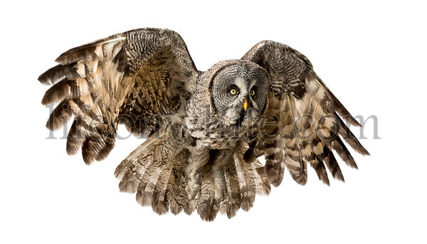 Great Gray Owl flying, Strix nebulosa, isolated on white