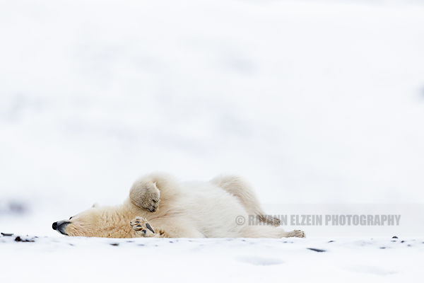 Polar bear cub rolling in the snow in Svalbard, Norway