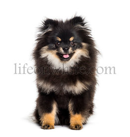 Pomeranian, 1 year, sitting against white background
