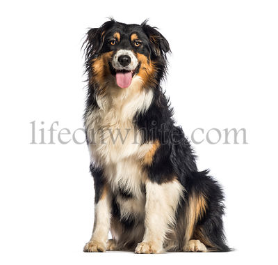 Australian Shepherd, 1 year old, sitting in front of white background