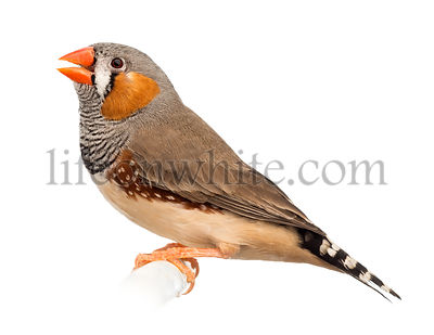 Zebra Finch, Taeniopygia guttata, against white background