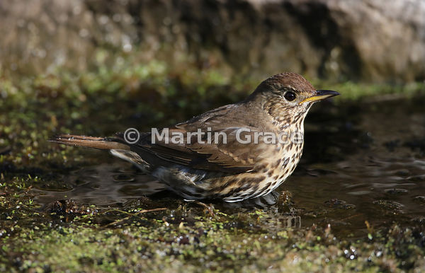 Song Thrush (Turdus philomelos) in my garden pond, Lake District National Park, Cumbria, England
