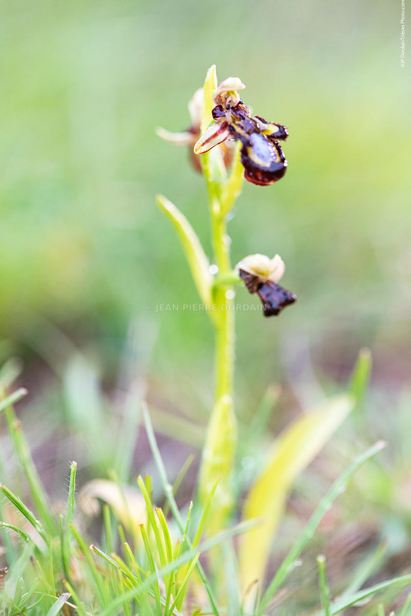 ophrys,speculum