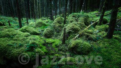Lush and green coniferous woodland with mossy forest floor