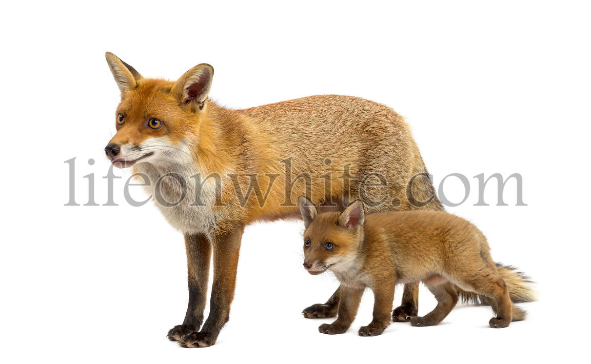 Mother fox with her cub (7 weeks old) in front of a white background