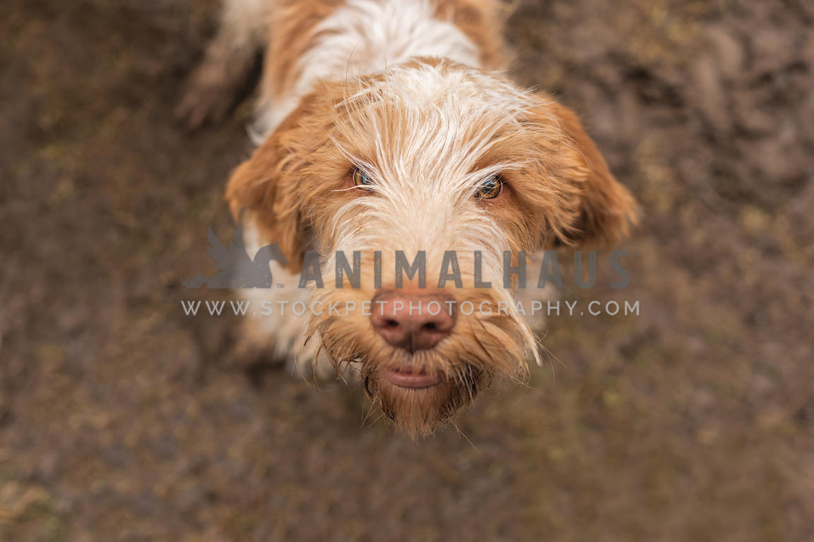 A Spinone Italiano posing in the mud