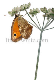 Meadow Brown, Maniola jurtina, in front of white background