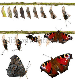 Composite of Peacock butterfly, Inachis io, emerging from its chrysalis in front of white background