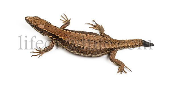 Top view of a Wall lizard with its tail cut