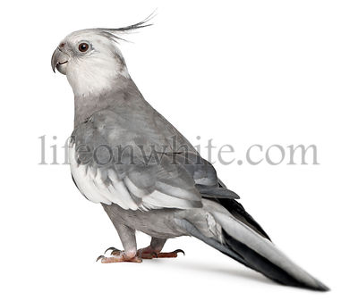 Male Cockatiel, Nymphicus hollandicus, in front of white background