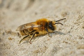 Detailed lateral closeup of the male vernal colletes or spring mining bee on sandy soil
