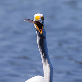 Mjallhegri_-_Great_White_Heron_fishing_-_emm.is-7