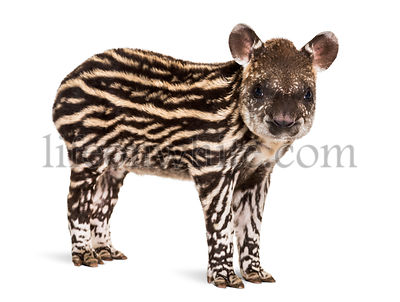 Month old Brazilian tapir looking at camera in front of white background