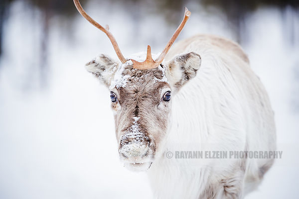 Reindeer close up in Finnish Lapland