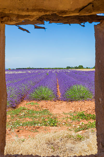 Champs de lavande / Lavender fields