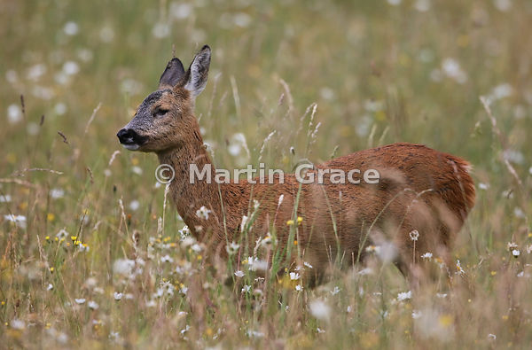 Roe Deer doe (Capreolus capreolus) in a South Lakeland grazing meadow with prominent Oxeye Daisies (Leucanthemum vulgare), Ju...