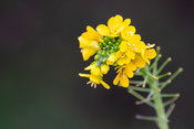 Yellow flowers of rapeseed - winter macro